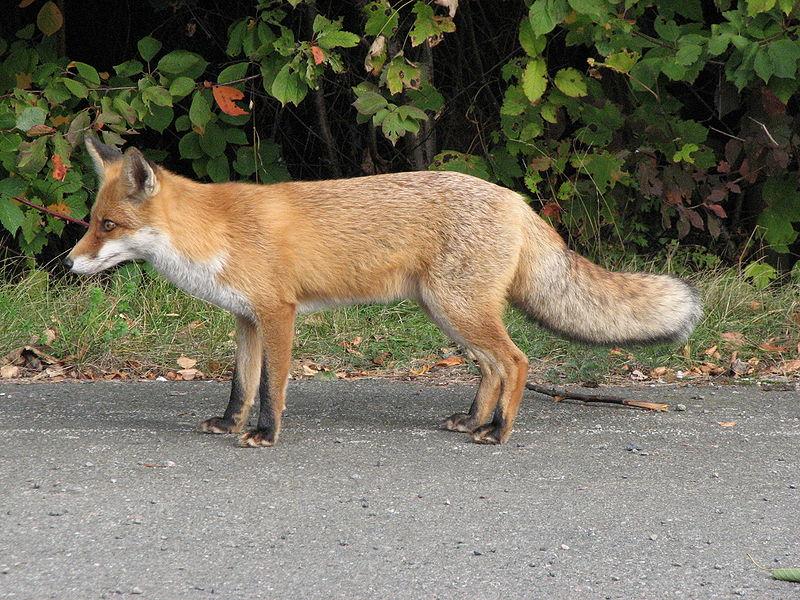 File:Fuchs Profil.jpg