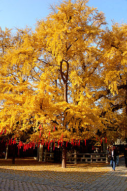 Ginkgo tree in autumn at Dinglin Temple in the Fulai Mountain Scenic Area