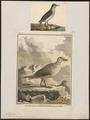 Fulmarus glacialis - 1700-1880 - Print - Iconographia Zoologica - Special Collections University of Amsterdam - UBA01 IZ17900078.tif