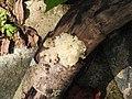 Fungi-92-bsi-yercaud-salem-India.jpg