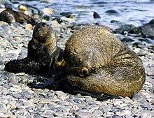 Fur seals at south georgia.jpg