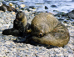 Fur seals at south georgia.jpg