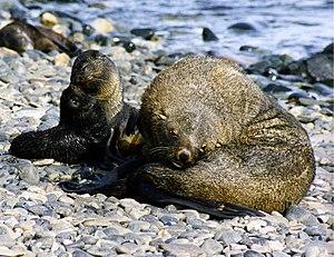 Antarctic fur seal - Image: Fur seals at south georgia