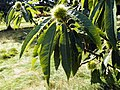 GOC Bengeo to Woodhall Park 133 Sweet Chestnut (Castanea sativa) (8106657307).jpg