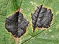 GT Tar-Spot Fungus Rhytisma acerinum on Sycamore.jpg