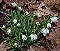 Galanthus nivalis Glendon1.jpg