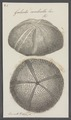 Galerites umbrella - - Print - Iconographia Zoologica - Special Collections University of Amsterdam - UBAINV0274 106 08 0007.tif
