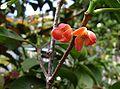 Garcinia sessilis, flower.jpg