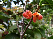 Heilala (Garcinia sessilis) flowers
