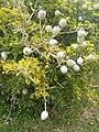 Gardenia ternifolia ssp jovis-tonantis KirstenboshBotGard09292010B.JPG