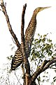 Garza Tigre Mexicana - panoramio.jpg
