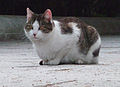 Gato callejero en Madrid 09.jpg