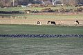 Geese, Murlough, County Down, January 2012 (07).jpg