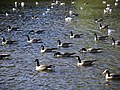 Geese and gulls - geograph.org.uk - 280884.jpg