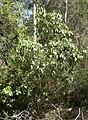 Geijera salicifolia.jpg