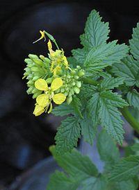 Gele mosterd bloemen Sinapis alba.jpg