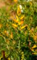 Genista madoniensis flowers.png