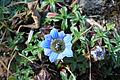 Gentiana carinata Flower NP.jpg