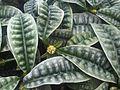 Gentianales - Psychotria ankasensis - kew 1.jpg