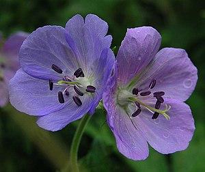 Geraniaceae - Image: Geranium pratense 070706 800 1