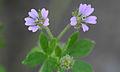 Geranium pusillum, Kleine ooievaarsbek bloemen.jpg