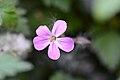 Geranium robertianum (7231876872).jpg