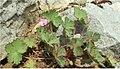Geranium rotundifolium.jpg