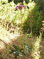 Geraniumcaespitosumplant.JPG