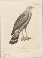 Geranospiza gracilis - 1700-1880 - Print - Iconographia Zoologica - Special Collections University of Amsterdam - UBA01 IZ18300053.tif
