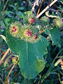 Geschlossene Blütenknospen.JPG