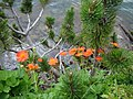 Geum coccineum Pinus mugo Pirin.jpg