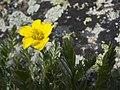 Geum rossii var. turbinatum (5929463403).jpg