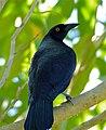 Giant Cowbird (Molothrus oryzivorus) (31395466880).jpg