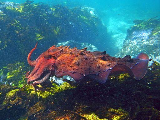 Giant Cuttlefish-sepia apama (8643345101)