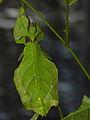 Giant Leaf Insect (Phyllium giganteum) (8757130533).jpg