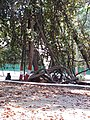 Giant Tree in Empress Garden Pune.jpg