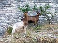 Gjirokastër - Ziegen.jpg
