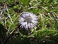 Globularia cordifolia Rax.jpg