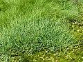 Glyceria notata plant (03).jpg