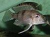 Gnathochromis premaxillaris