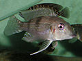 Gnathochromis premaxillaris.jpg