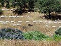 Goats herd in Nahal Hashiva (12).JPG