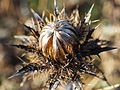 Golddistel Carlina vulgaris Southern Heath Nature Park@20151126 (2).JPG