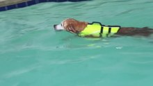 Wêne:Golden retriever swimming the doggy paddle.webm