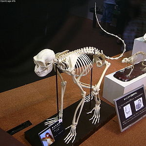 Golden snub-nosed monkey - A skeleton of the species.