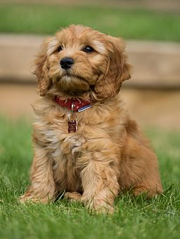 Teddy Bear Goldendoodle puppy Marty