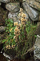 Goldenrod (Solidago virgaurea), Skaw - geograph.org.uk - 1507648.jpg