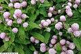 Gomphrena globosa Gnome Pink 2zz.jpg