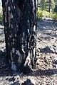Gran Canaria pine forrest near Presa del Mulato (MGK17521).jpg