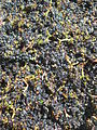 Grapes at Bouchaine Winery, Napa, California - Stierch.jpg